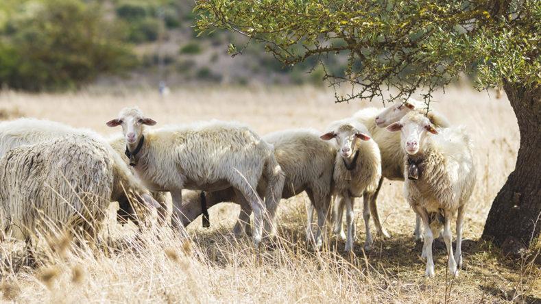 La prima per anzianità: la pecora